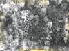 Mosses and Liverworts Polztnichum, etc Sheet mosses