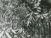 Closeup of Rhododendron, R. maximum