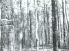 Southern Pine Bark Beetle